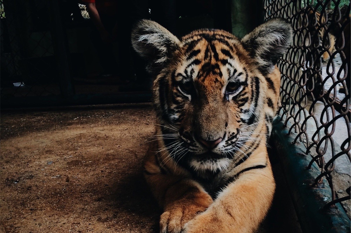 Baby Tiger, But Where Is The Lion & Bear?
